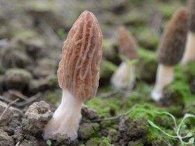 羊羊肚菌煮汤需要多久,贵州哪些地方适合种植羊肚菌肚菌怎么样呢