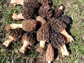 鲜羊肚菌的功效与作用,一斤羊肚菌能吃多久