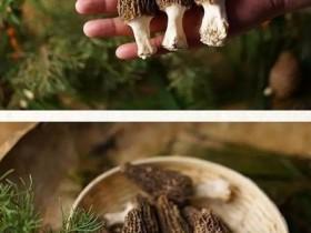 羊肚菌的标准灰分是多少,羊肚菌一般种多久才发