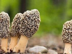 干羊肚菌4人要放多少煲汤,鹧鸪煲灵芝羊肚菌功效