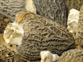 野生羊肚菌一年采几次,猴头菇煲羊肚菌功效与作用