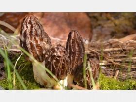 羊肚菌要种多久可以收,鲜羊肚菌的功效与食法