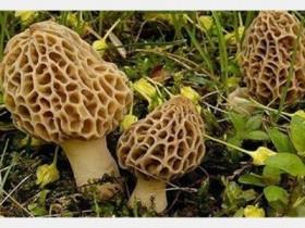 干的羊肚菌如何煲汤,羊肚菌菇干功效与作用及食用方法