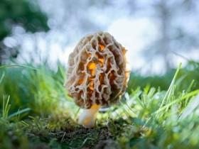 哪些地方羊肚菌多,羊肚菌有比冬虫夏草好的功效吗
