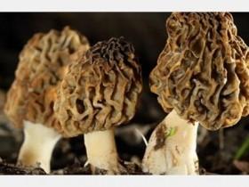 新鲜羊肚菌一次放多少,新鲜羊肚菌炖多久合适