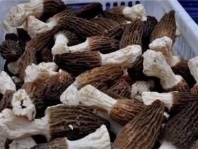 羊肚菌孢子粉的功效与作用及食用方法,羊肚菌用温水泡多久