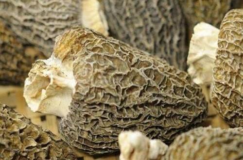 野生羊肚菌